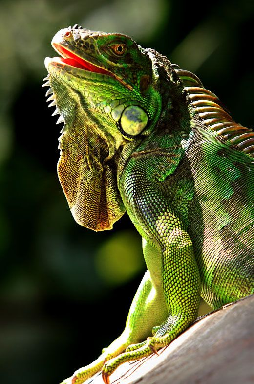 Iguana Care Iguana Food Click To Learn More