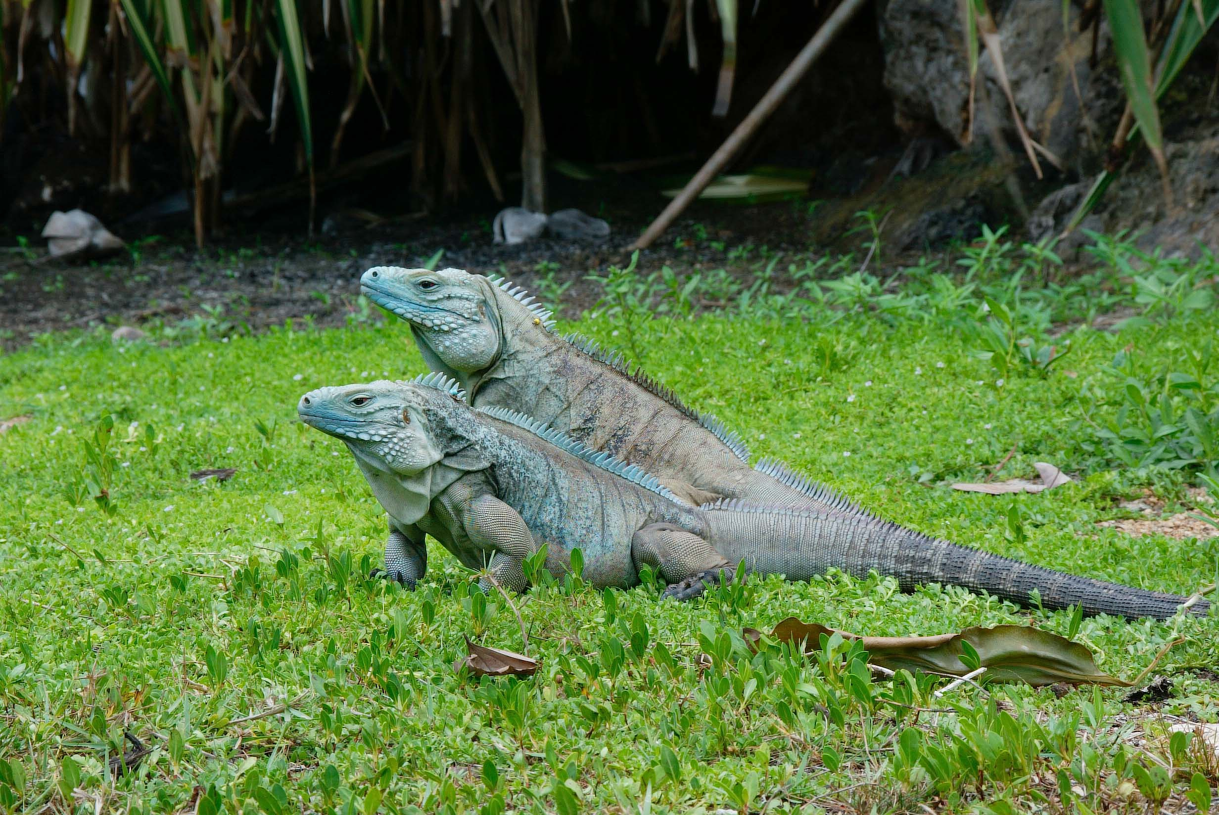 Blue Iguana For Sale : Blue iguana click to learn all about this species of iguana