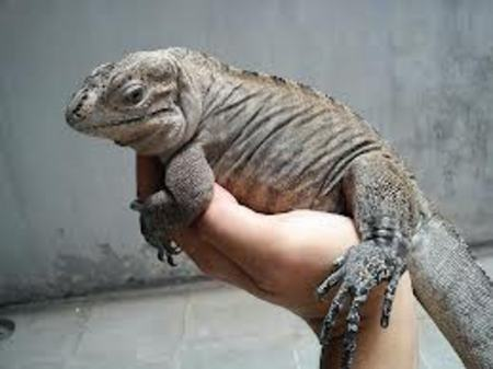 Blue Iguana For Sale : Rhinoceros iguana click here to see it