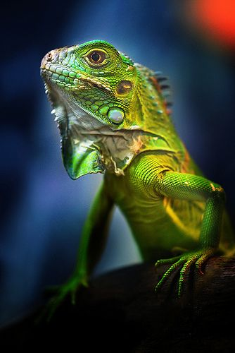 Iguana Sale - Inguana information, Classifieds and More - photo#25