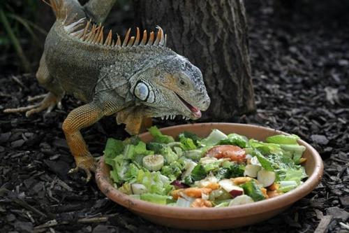 Green Iguana Food Diet